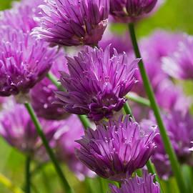 Pete Hemington - Allium blooms