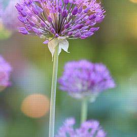 Mary Machare - Allium - Happy in the Summer Sun
