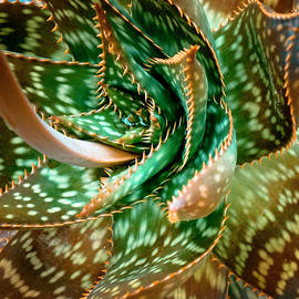 Aloe Saponaria, Soap Aloe Maculata - Frank Tschakert