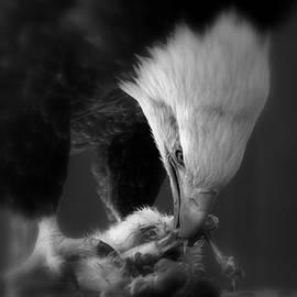 Jake Danishevsky - America Bald Eagle - Bird Has Got To Eat