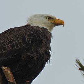 Mikel Classen - American Bald Eagle - Close-up