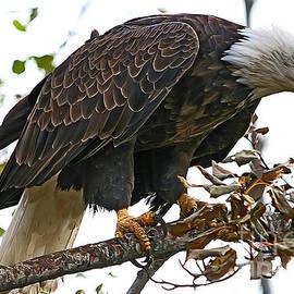Vickie Emms - American Bald Eagle