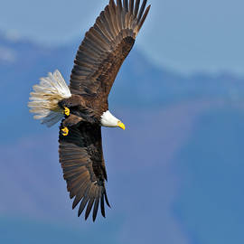 Gary Langley - American Blad Eagle on the wing