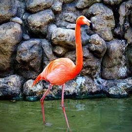 Cynthia Guinn - American Flamingo