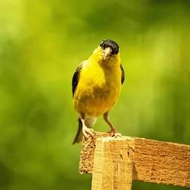 Geraldine Scull   - American Gold Finch on fence
