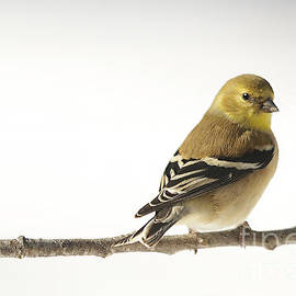 Jemmy Archer - American Goldfinch in Snow