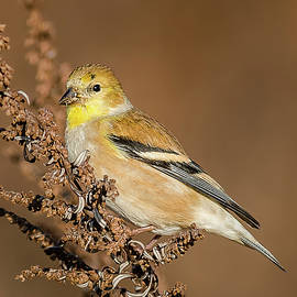 Morris Finkelstein - American Goldfinch Looking