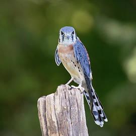 Sharon McConnell - American Kestrel Falcon
