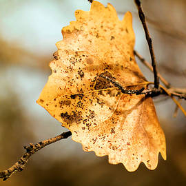 Jeff Swan - An autumn leaf suspended