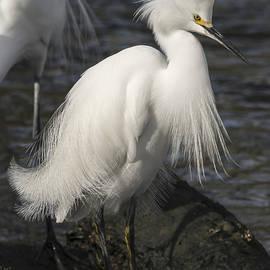 Bruce Frye - An Egret Displays Its Plumage