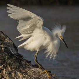 Bruce Frye - An Egret on Driftwood