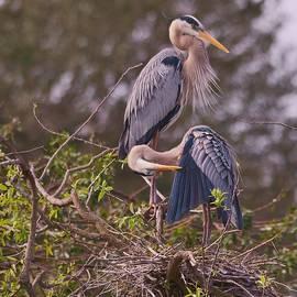 Patricia Twardzik - An Elegant Blue Heron Pair