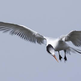 Bruce Frye - An Elegant Tern Fishing