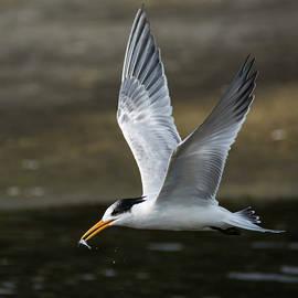 Bruce Frye - An Elegant Tern with a Fish