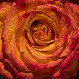 David Stone - An Orange Rose