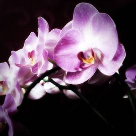 Gabriella Weninger - David - An Orchid for you