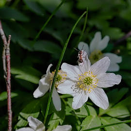 Leif Sohlman - Anemone nemorosa and ant