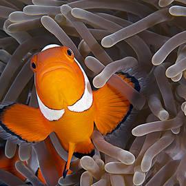Henry Jager - Anemonefish