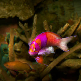 Mike Savad - Animal - Fish - Pseudanthias pleurotaenia