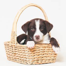 Andrea Borden - Animal Rescue Portraits - Border Collie in a Basket