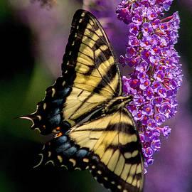 J Allen - Anise Swallowtail
