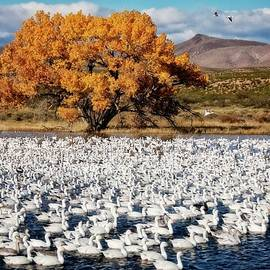 Flying Z Photography By Zayne Diamond - Annual Snow Geese Meet-up, Bosque Del Apache, New Mexico