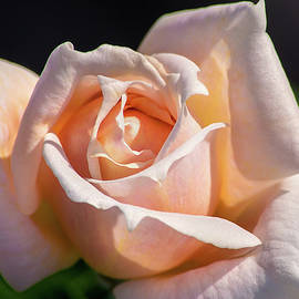 Don Johnson - Another Beautiful Pink Rose