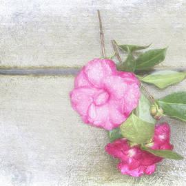 Terry Davis - Antique Camellias