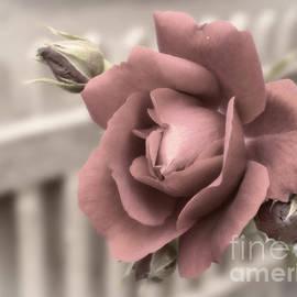 Inge Riis McDonald - Antique Rose