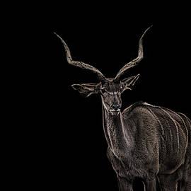 Antlers - Martin Newman