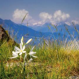 Jane Selverstone - Aosta flowers