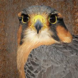 Dawn Currie - Aplomado Falcon Portrait