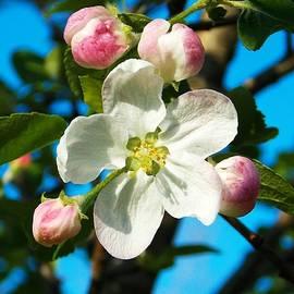 Belinda Olivastri - Apple Blossom