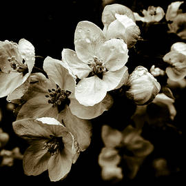 Apple Blossom - Frank Tschakert
