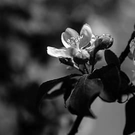 Andreas Levi - Apple Blossom - Monochrome Version