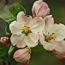 Mother Nature - Apple Blossom Time #1