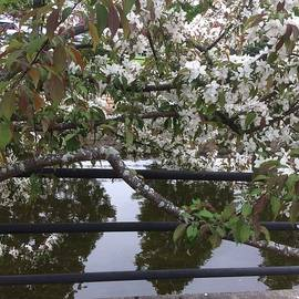Pat Purdy - Apple Blossoms in Perth