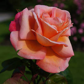 Helene Fallstrom - Apricot dream rose