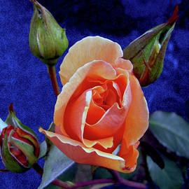 Michele Avanti - Apricot Rose
