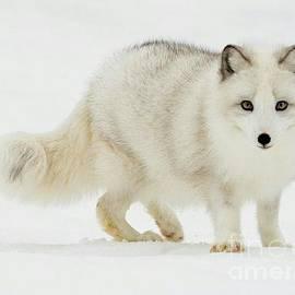 Blackwater Studio - Arctic Fox