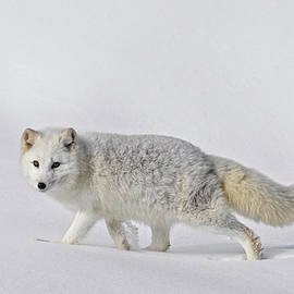 Wes and Dotty Weber - Arctic Fox In Winter D9923