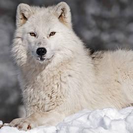 Nina Stavlund - Arctic Wolf...
