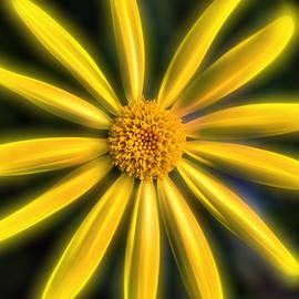 Don Johnson - Artistic Daisy-Yellow