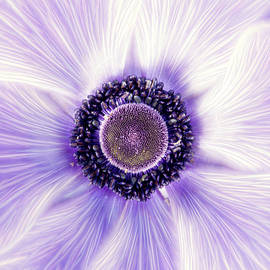 Don Johnson - Artistic Poppy Anemone