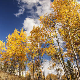 Vishwanath Bhat - Aspen trees in autumn against dramatic sky