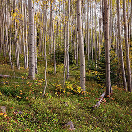 Brian Harig - Aspens In Autumn 8 - Santa Fe National Forest New Mexico