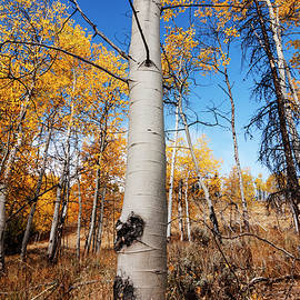 Vishwanath Bhat - Aspens in autumn in Stanley Idaho