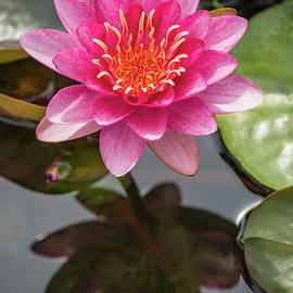 Fiona Craig - Attraction Water Lily