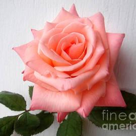 Sofia Metal Queen - Aurora rose. Image 1