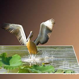 Genevieve Vallee - Australian Pelican